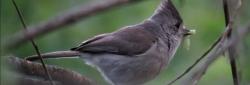 Oak Titmouse.N.Uyeda
